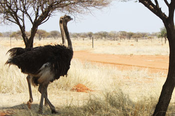 Ostrich near the road