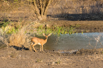 Steenbok at the waterhole